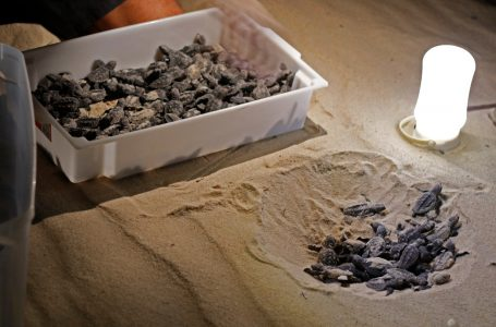 Beach Park registra nascimento de tartarugas-de-pente